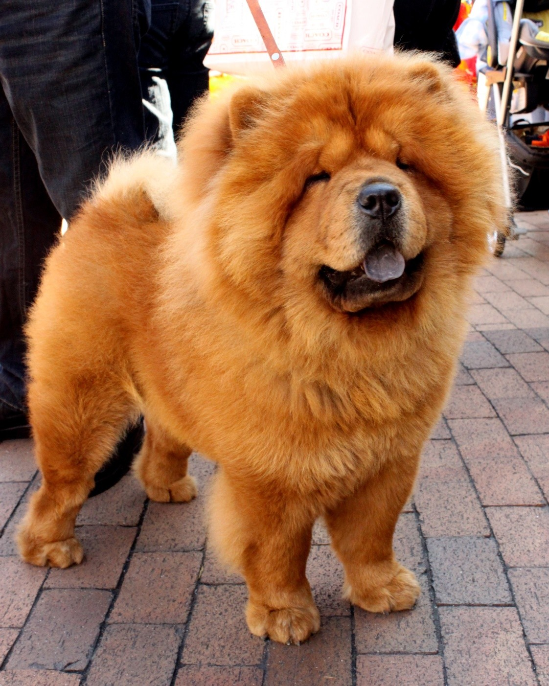 20 cutest photos of small fluffy dog breeds sigma watch for Fluffy little dog breeds