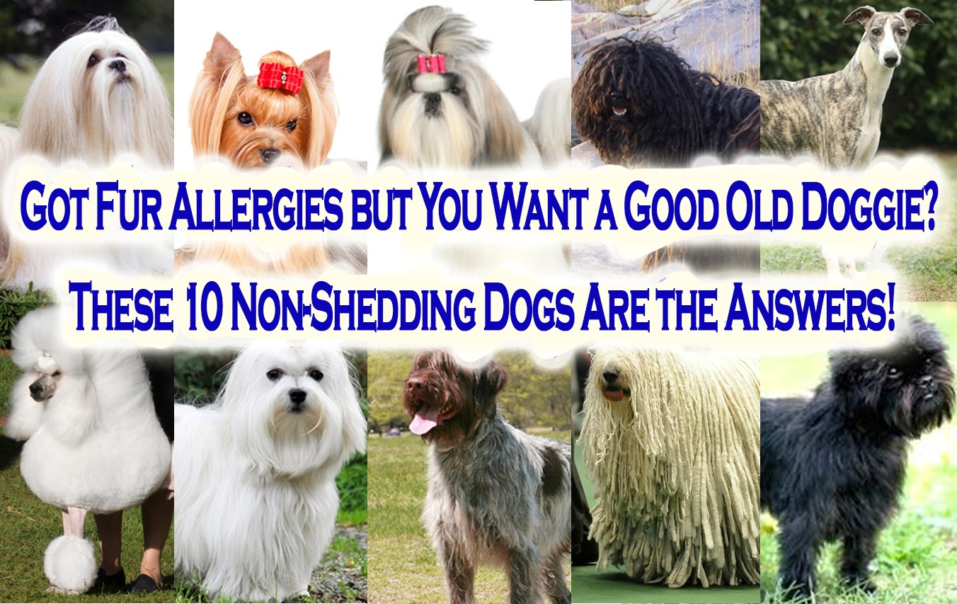 Got Fur Allergies but You Want a Good Old Doggie? These 10 Non Shedding Dogs Are the Answers!